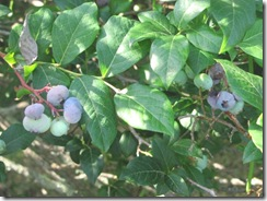 blueberries Plympton11