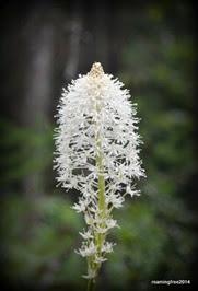 Beargrass Blooms