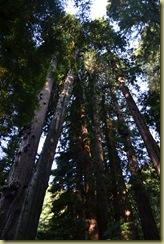 Muir Woods-2