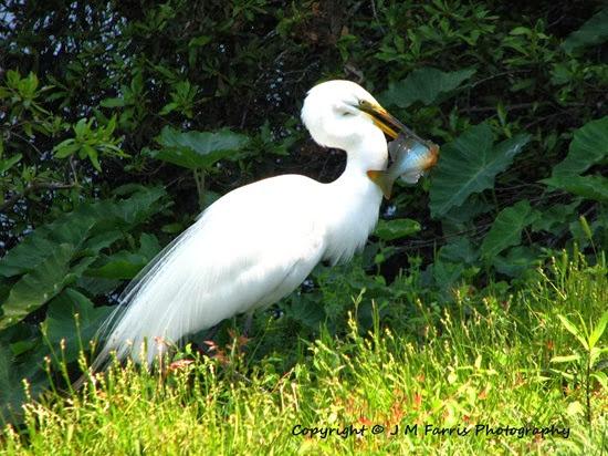 Egret Fish