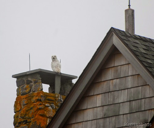 17. snowy owl -kab