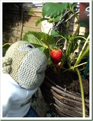 Strawberry eating monkey
