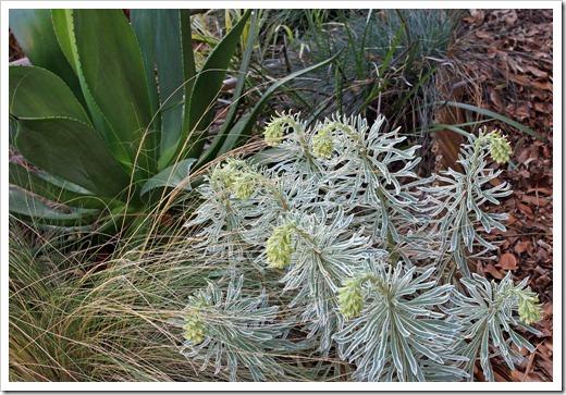 130225_Euphorbia-characias-Glacier-Blue_01