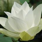 angkorsite_flower_1 (106).jpg