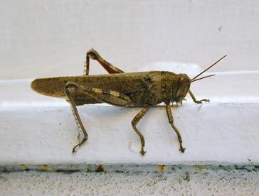 Locusta2