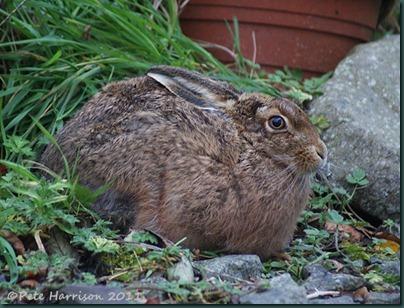 hare-1
