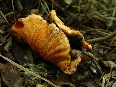 Missouri lobster mushroom Hypomyces lactifluorum