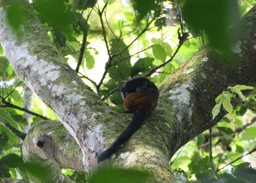 Our fleeting glimpse of a tamarin.  Saddle Backed Tamarin (Saguinus fuscicollis)