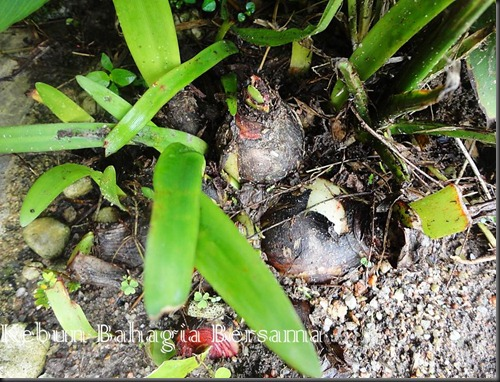 Roseum hippeastrum  bulbs