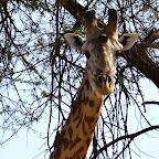 Ruaha Nationalpark, Giraffe © Foto: Ulrike Pârvu | Outback Africa Erlebnisreisen