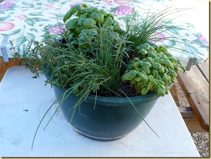 Herb Pot with Rosemary  Chives Thyme Italian Basil Broadleaf Basil