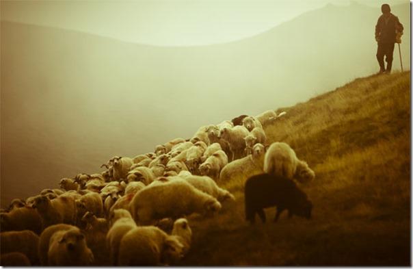 Ovelhas Pastando (13)