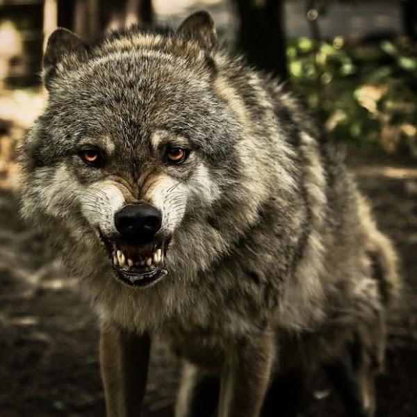 fotos animais sorriso lobo[7].jpg