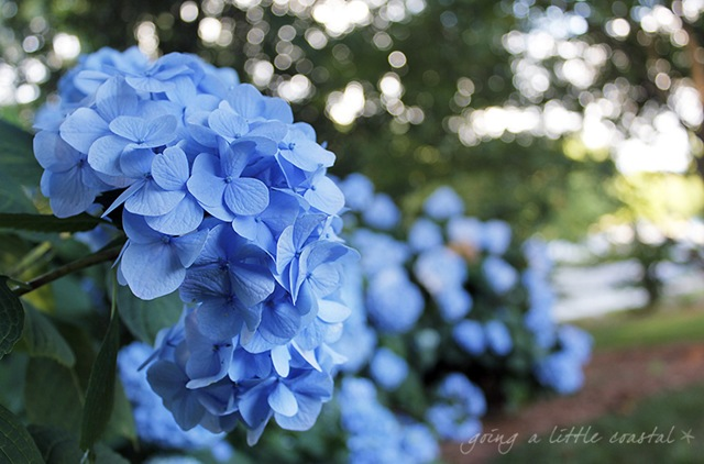 hydrangea_edited-1