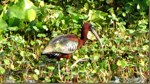 OrlandoWetlands_041