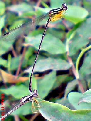 damselfly mating_capung jarum kawin 7