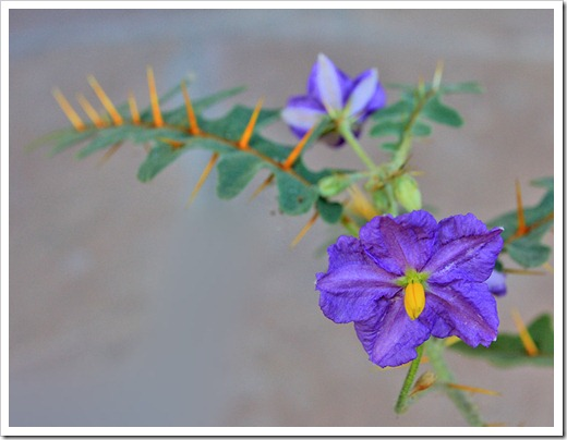 120630_Solanum-pyracanthum_06