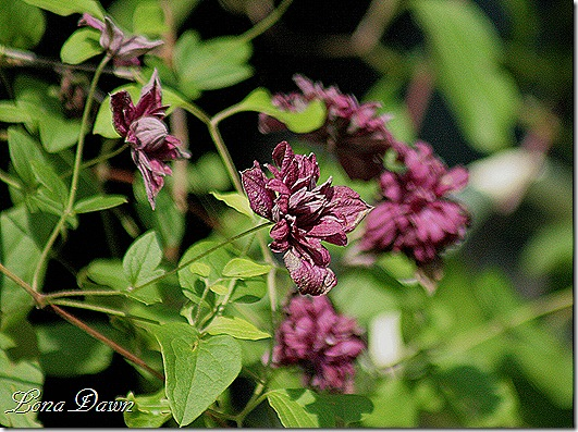 Clematis_purpurea_plena_elegans_Sunlight