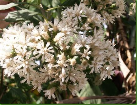 Vernonia condensata 1 s