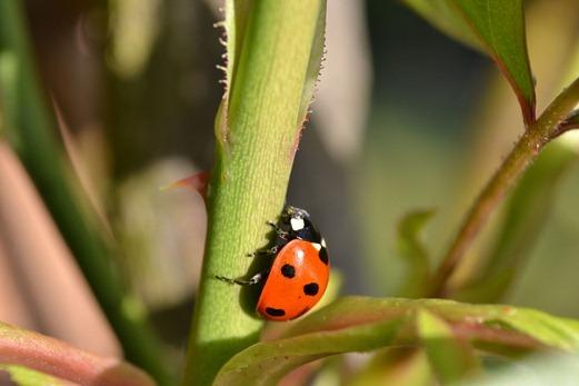 Common Ten-spot ladybird