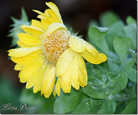 Frosty_Gaillardia2_Oct30