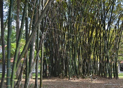 Bamboo . . . Edison bought the property because of the bamboo