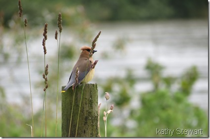 WaxWing behind grasses