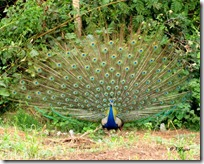 019 Peafowl-Peacock ( Mor )