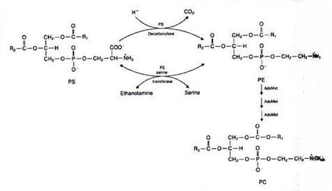 Biosynthesis of Glycerophospholipids