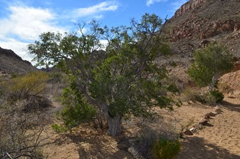 mountain mahogany in the Grapevine Hills