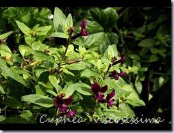 Cuphea-viscosissima1