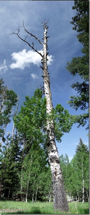 03 Aspen with dead top Kaibab NF AZ pano (426x1024)