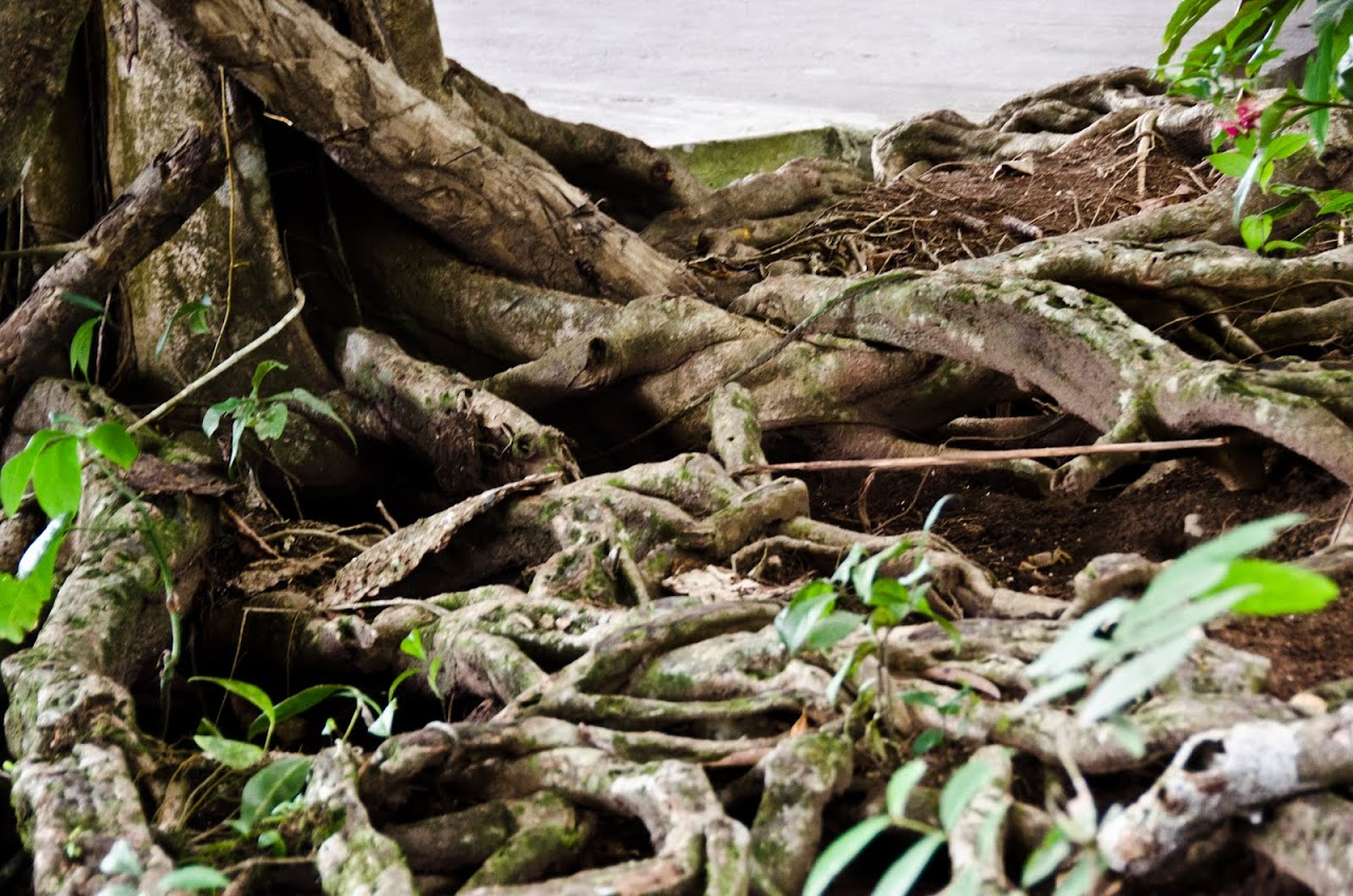 Roots at Tortuguero