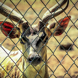 No to boundary yes to freedom of life  by Bpn Loit - Animals Other Mammals ( life, endangered species, freedom, innocent, deer, animal )