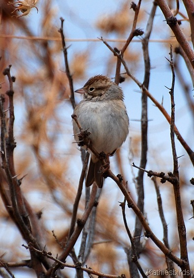 17. rufous-winged sparrow-kab