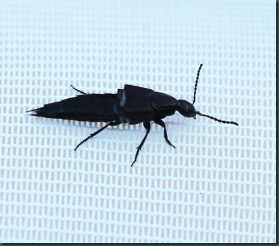 rove-beetle