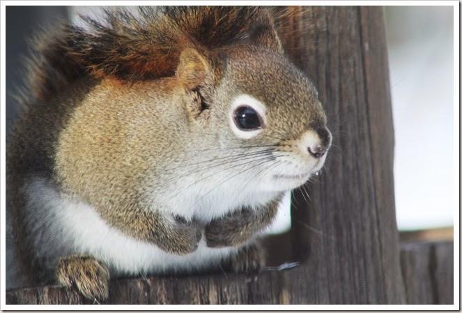 squirrel 2.14 056