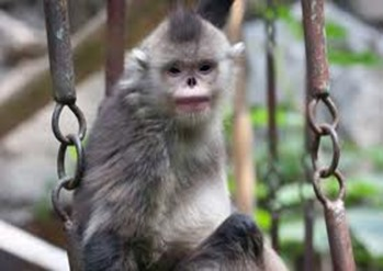 Amazing Pictures of Animals, photo, Nature, exotic, funny, incredibel, Zoo, Myanmar snub-nosed monkey, Alex (13)