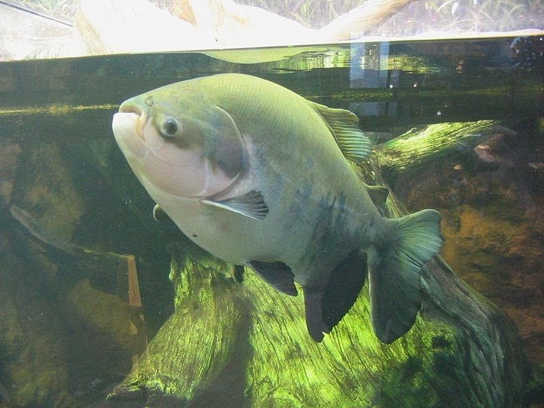 Pacu the fish with very human teeth amusing planet for Sheepshead fish eating