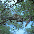 Leopard im Baum © Foto: Bruce Taylor | Sunway Safaris