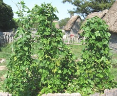 Plimoth Plant string beans growing