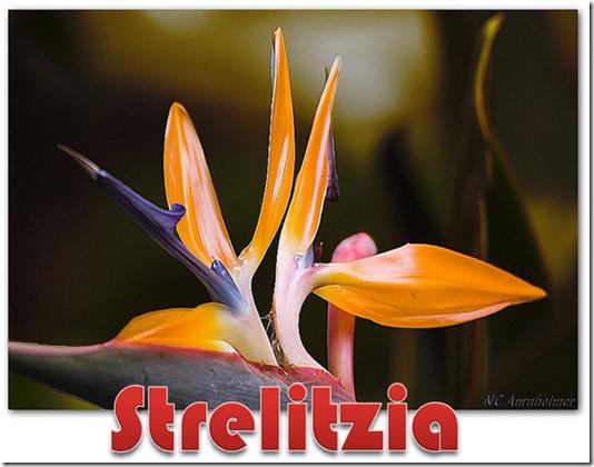 Strelitzia 2