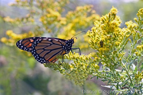 IMG_6979 Monach Butterfly on Goldenrod