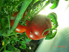 23 week tomato clone
