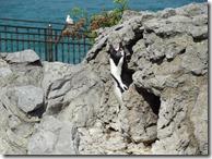 Un pinguin protestează că-l fotografiem