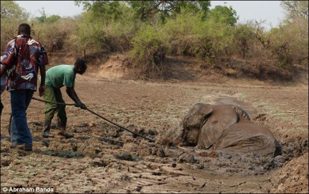 The focus then turns to the mother elephant who is becoming tired after struggling for so long