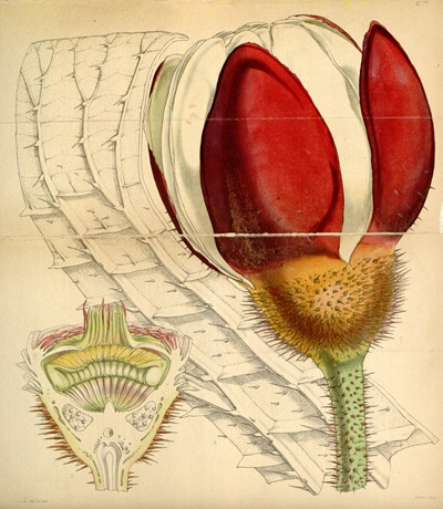 Curtis's_Botanical_Magazine,_Plate_4277_(Volume_73,_1847),_reduced