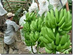 banano[1]
