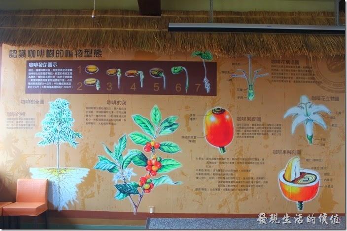 認識咖啡樹的植物型態。