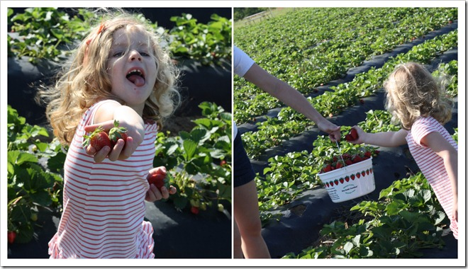 Strawberry Farm5